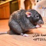 كيفية القضاء على الفئران في المجاري وفي المنزل