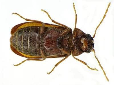 سوس ذات القرون الكبيرة - حشرات الخشب المنزلية